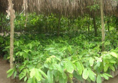 Cacao production in Tabasco.