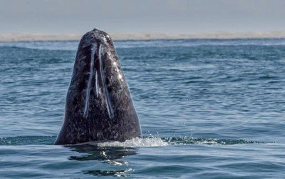 A gray whale off the coast of Mexico.