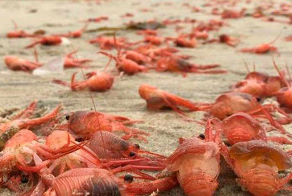 Millions of lobsters appear on Tijuana beaches