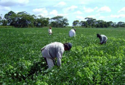 Farmworkers in a field of soybeans.
