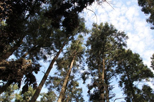 Michoacan's forests: attractive to loggers.