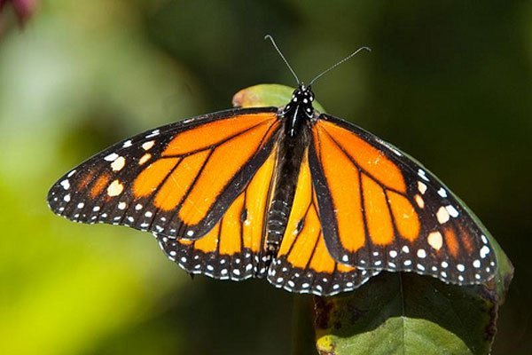 Monarch butterfly: subject of a meeting this week in Mexico City.
