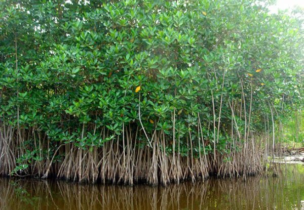 Mangroves in Mexico