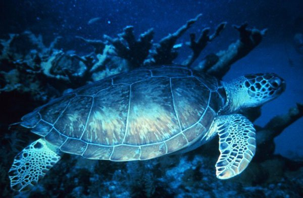 A green sea turtle swims in a coral reef in Mexico.