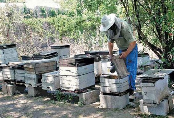 A beekeeper tends his hives.