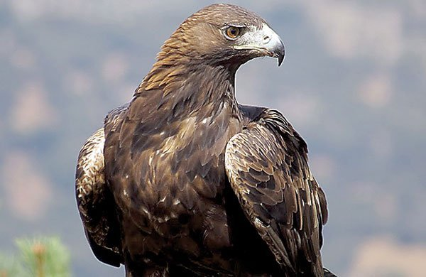 the habitat of the golden eagle and its main characteristics The golden eagle is the national bird of mexico in mongolia, golden eagles are still used in the sport of falconry golden eagles use their powerful talons.