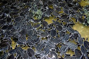 Baby turtles are ready to go to sea.