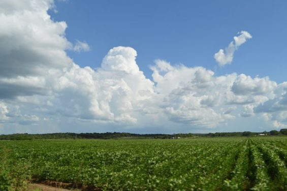 Soy crop in Campeche.
