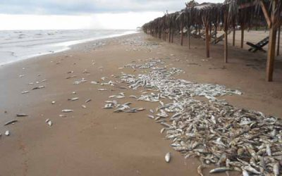 Dead fish on a beach in Tamaulipas.
