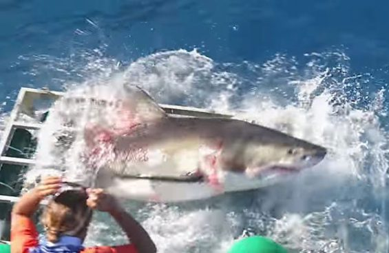 Shark escapes from the Guadalupe Island cage.