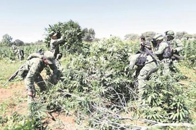 Soldiers destroy marijuana plants.