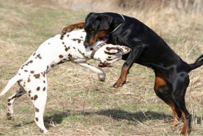 Legislation would prohibit dog fighting in Mexico.