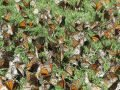 Butterflies at their winter home in Mexico.