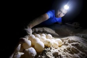 Biologist checks a turtle's nest near Cancún