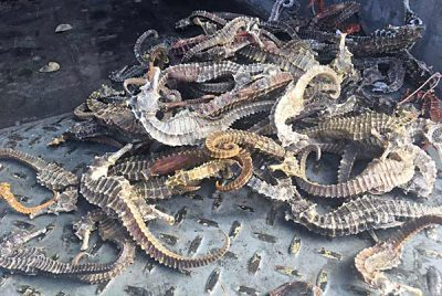 Sea horses seized in Sonora this week.