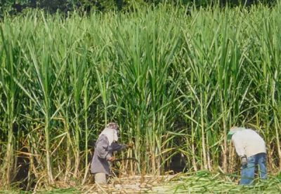 Workers harvest sugar cane.