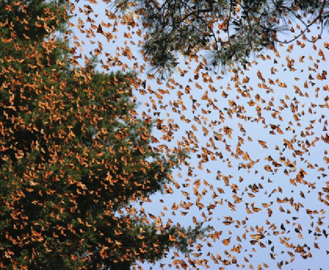 Monarch butterflies fill the sky and trees in a Mexican forest.