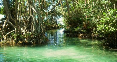 Mangroves are being recovered in Altamira, Tamaulipas.