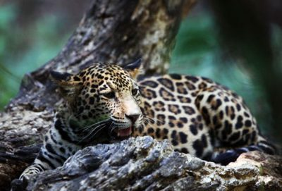 Jaguars at risk