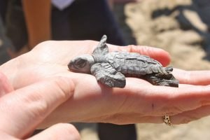 A baby turtle gets a helping hand on the beach.