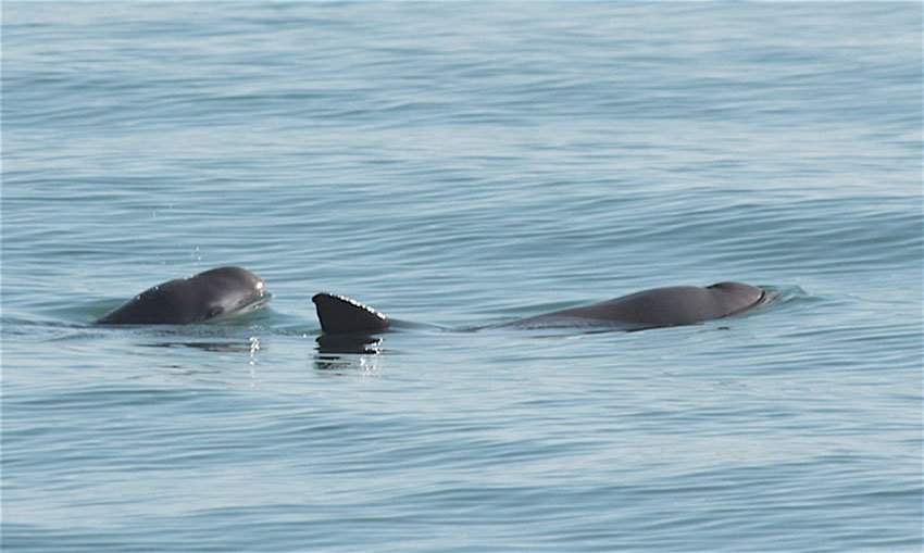 The vaquita porpoise: on the verge of extinction.