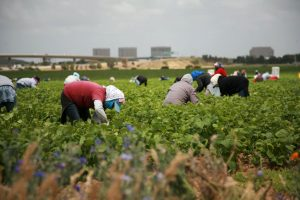 Mexican farmworkers in California.