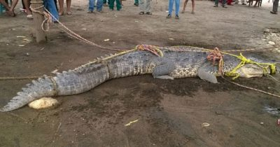 A crocodile is tied up in preparation for relocating in the Encrucijada reserve in 2015.