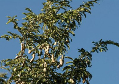 Tamarind tree and its seed pods.