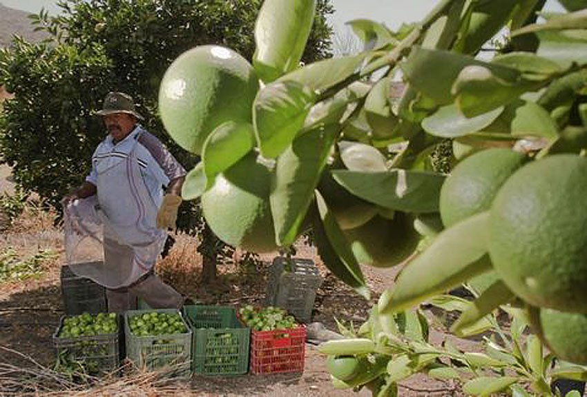 Lime grower in Michoacán: favored by extortionists.