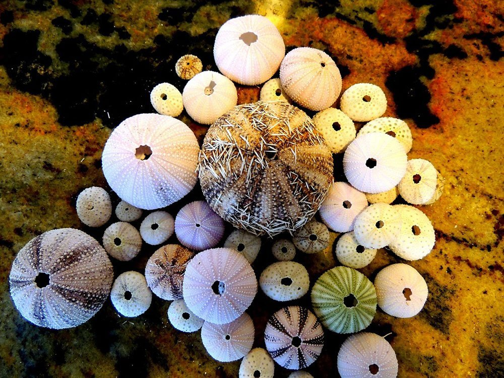 Sea urchin shells.