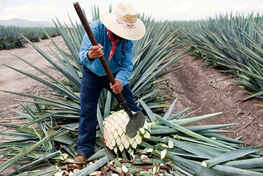 The agave plant, from which tequila is made.