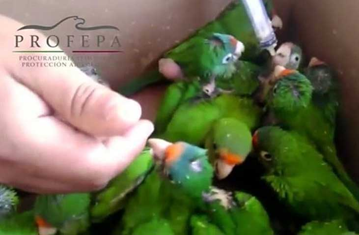 Young parrots of a species in danger of extinction had been destined for the black market.