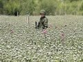 A soldier is surrounded by opium poppies