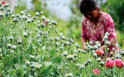 Opium poppies: Mexico a leading producer.