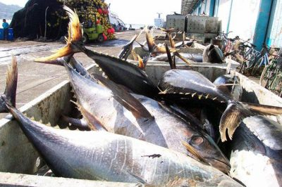 Tuna catch: conservationists call for fishing ban.