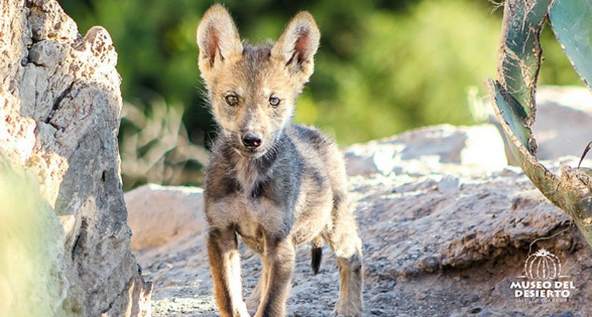 One of the wolf pups born at Mude