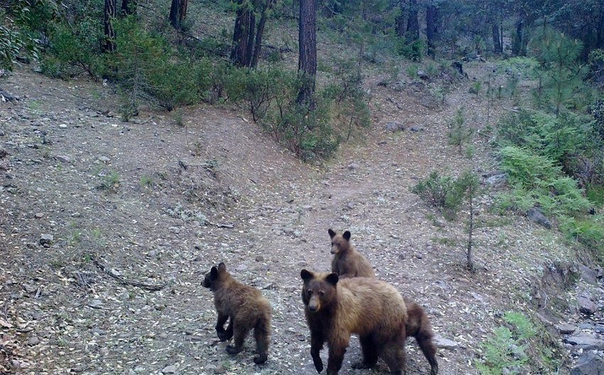 Black bear and cubs in Chihuahua.