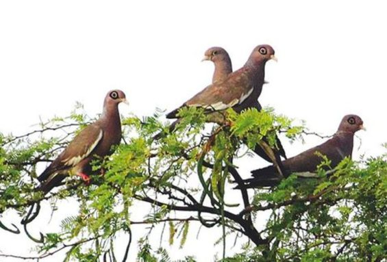 White-winged doves: hunting season opens this month.