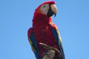 A scarlet macaw in the Tuxtlas biosphere reserve.