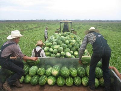 Mennonite farmers harvest watermelon in Campeche.