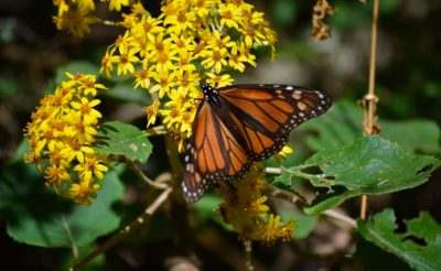 Monarch butterfly: logging in the insect's habitat has been reduced.