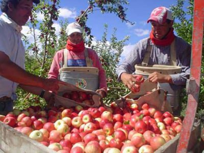 Apples are harvested at a Mexican orchard.