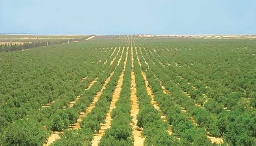 Crops are being grown in Egypt using the Mexican system.