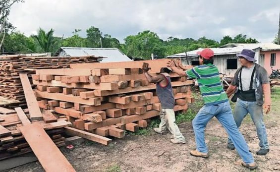 Mahogany is prepared for shipment in Caobas.
