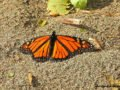 A monarch butterfly at Point Pelee National Park in Canada.