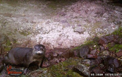 River otter in the Chihuahua reserve.