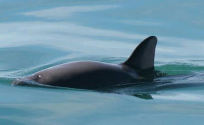 Vaquita marina: no more captures.