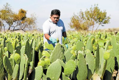 A nopal producer checks his crop.