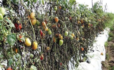 Crops have suffered in several states due to the cold snap.