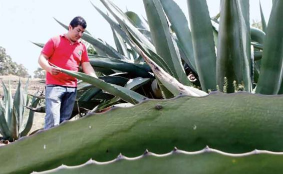 Agave, source of sweetener that could combat obesity.
